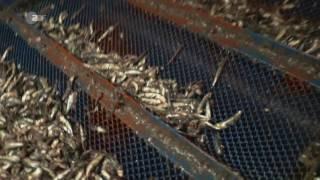 Fisch aus der Massenzucht - Dramatische Folgen für die Umwelt ZDF Frontal 21