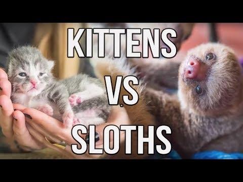 Kittens vs Sloths!