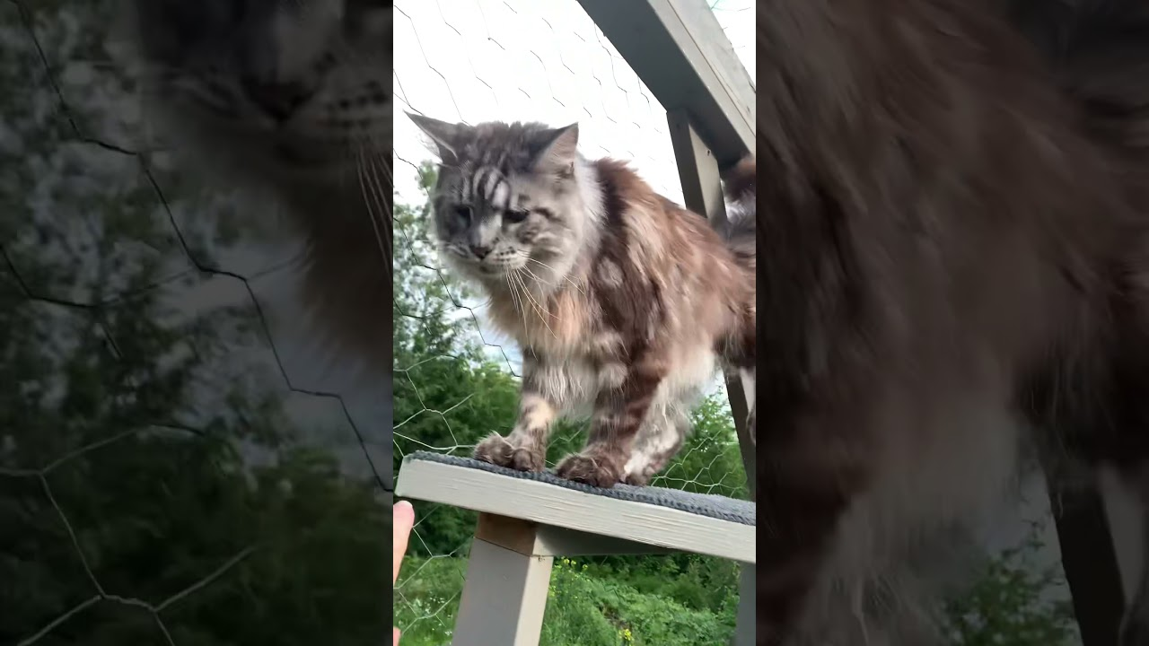 Big Silver Maine Coon   Leaps across Catio shelves   #shorts