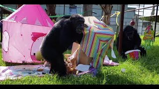Happy birthday chimpanzees Midge and Lulu!