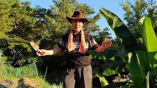 #가을 감자 심는 방법 (적색 감자)
