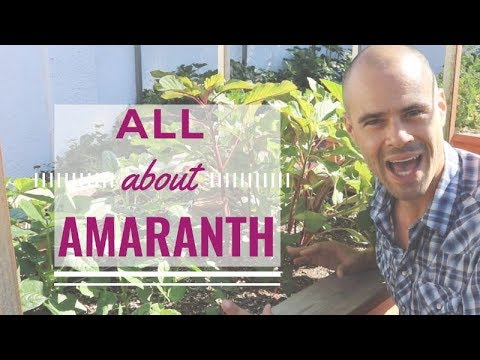 Growing Amaranth In The Garden | Planting Tips