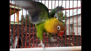 Gambar cover LOVE BIRD CEREWET NGEKEK PANJANG !!!Aksi Love Bird Latah||PANCINGAN AMPUH