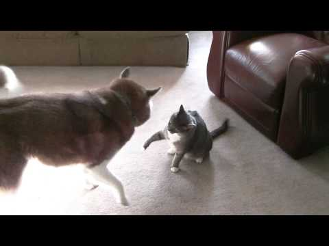Husky vs. tough cat
