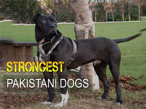Five Strongest Dogs from Pakistan