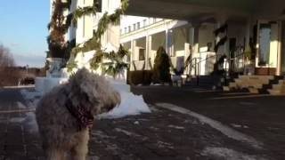 Wheaten Terrier Brady checks into a seacoast hotel in the northeast...