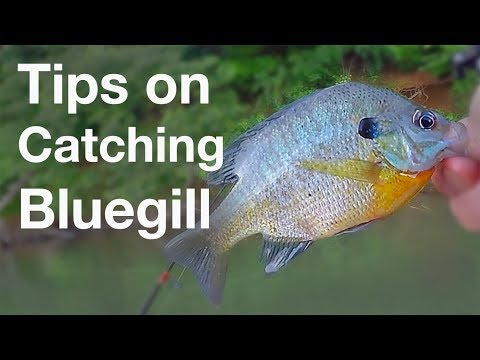 Tips On Catching Bluegill For Catfish Bait