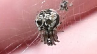 DeathHead or Skull Spider