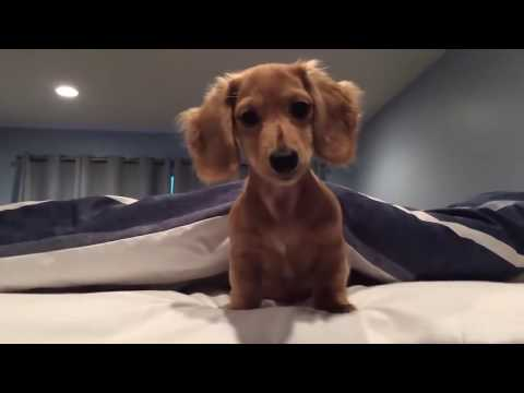 Funny Dachshund Moments Compilation