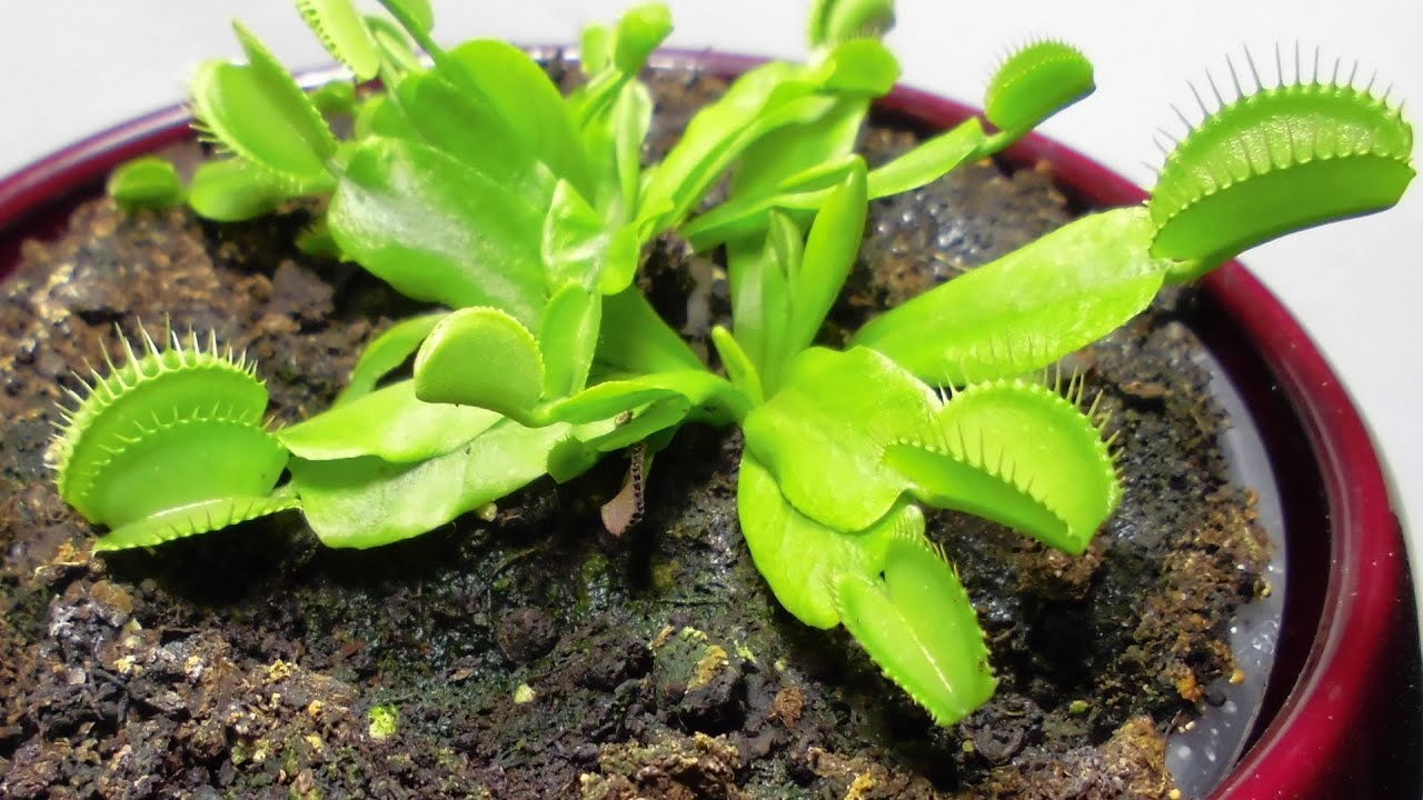 All About Venus Flytraps And How To Care For This Carnivorous