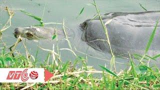 Xem Cụ rùa Hồ Gươm Hà Nội nổi lên mặt nước vào buổi trưa