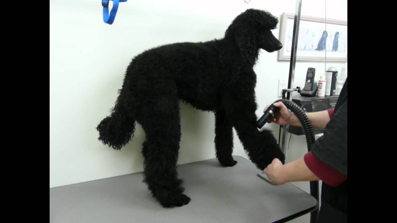 Blow Drying A Standard Poodle YouTube