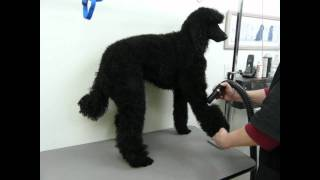Blow Drying A Poodle