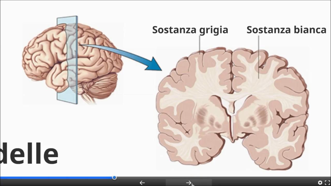 Il Sistema Nervoso Centrale E Periferico Youtube