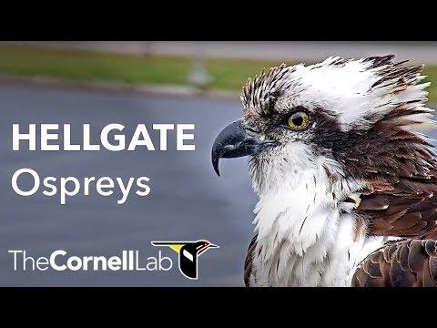 Hellgate Ospreys