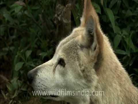 Tibetan Wolf from the trans-Himalaya