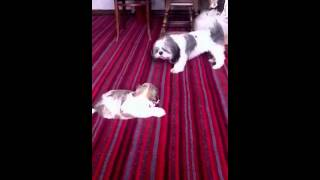 Puppy Shih Tzu Vs Adult Shih Tzu!