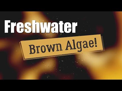 BROWN ALGAE In Freshwater Aquariums | PANIC Or DON'T PANIC?