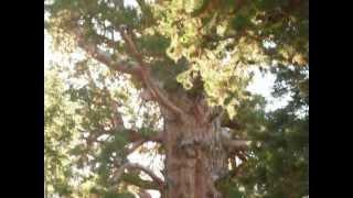 Das größte Lebewesen der Erde / General Sherman Tree