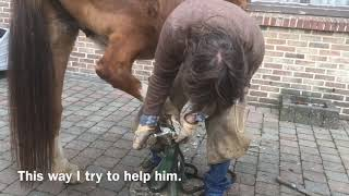 Tjoes The Pony Has Severe Artritis In His Hind Leg Gets His Hooves Trimmed