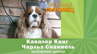 Кавалер Кинг Чарльз Спаниель как выбрать щенка