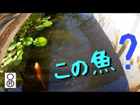 メダカを飼育している屋外水槽で、あれ、この魚は? ★解説ブログあり