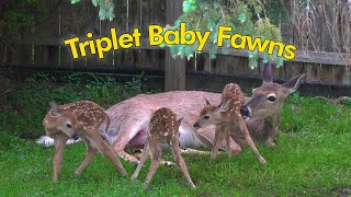 Whitetail Deer Triplet Baby Fawn Birth (4K)