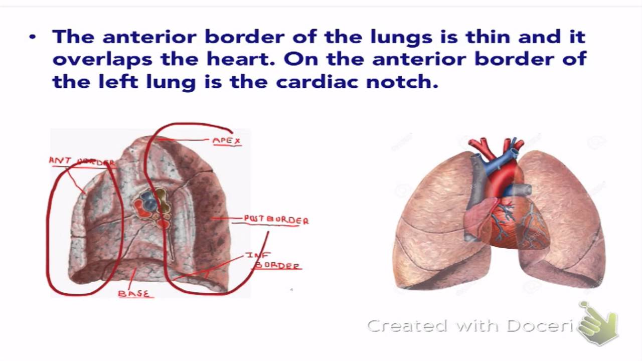 The Lungs Lobes Fissures Youtube