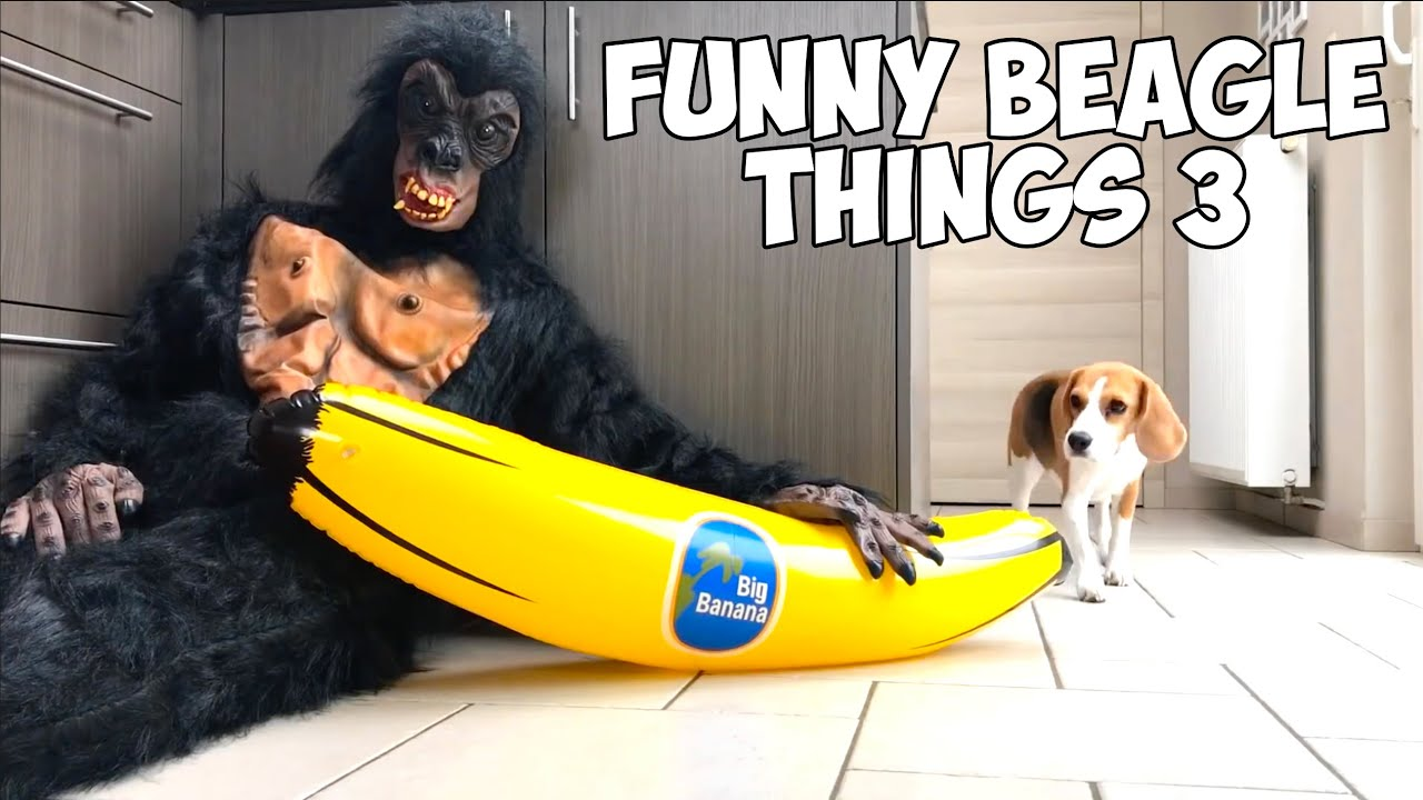 Beagles Being Beagles Compilation : Cute & Funny!
