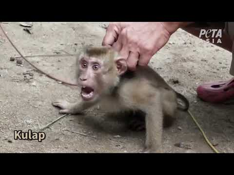 Cruelty in Your Coconut Milk? PETA Investigation Reveals Exploited, Abused Monkeys
