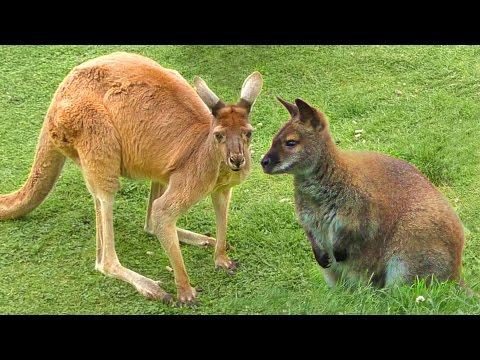 Whats the difference between kangaroos and wallabies marsupials Twycross zoo animals