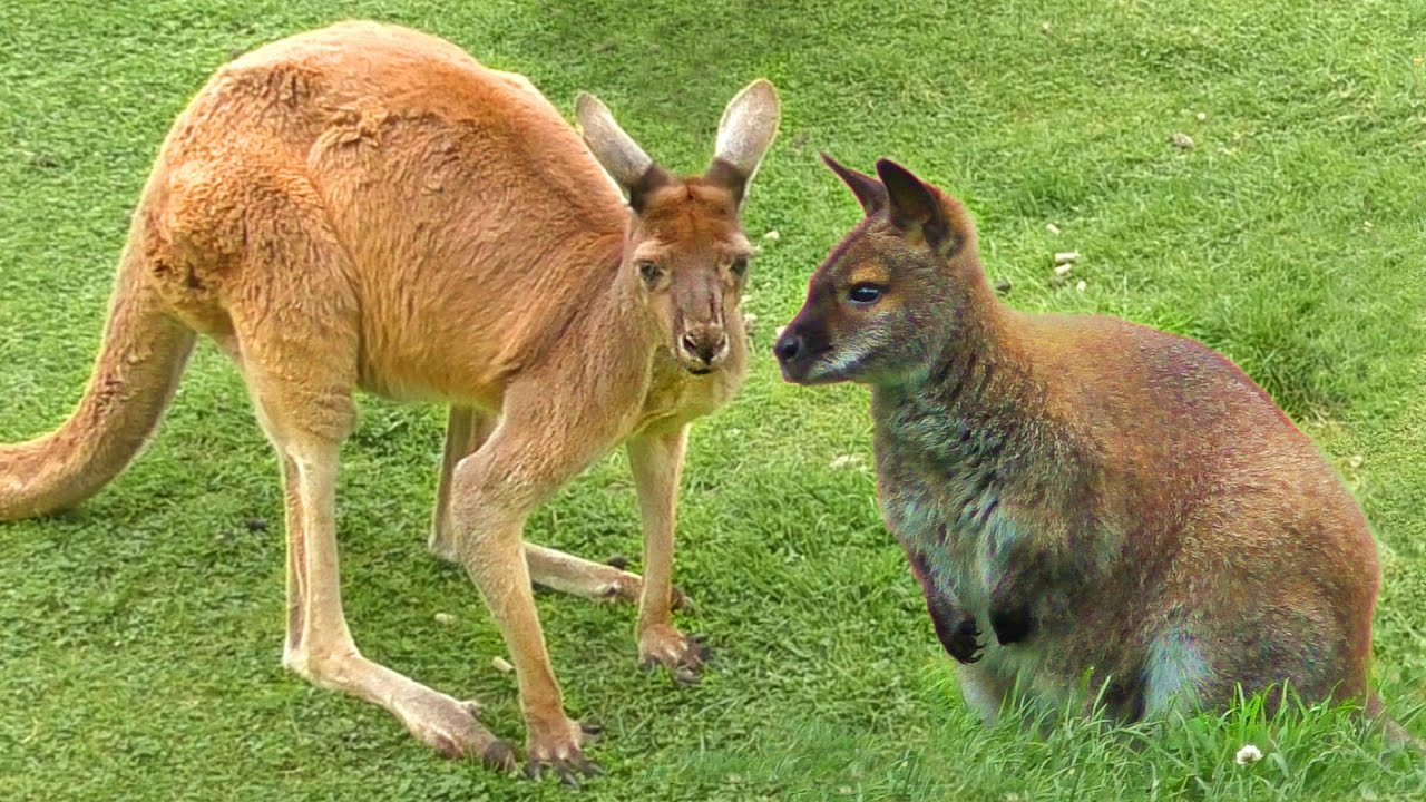 Whats the difference between kangaroos and wallabies marsupials Twycross zoo animals
