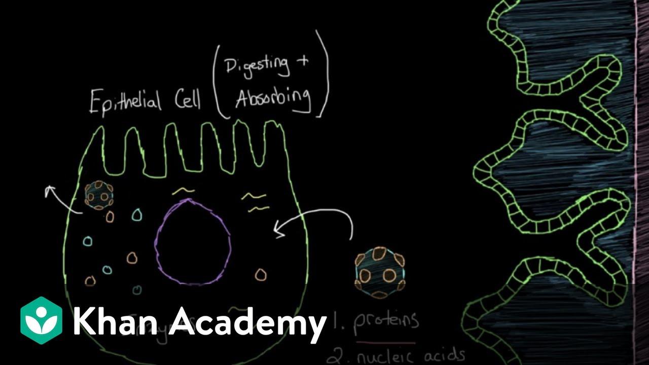 Download What is viral gastroenteritis? | Gastrointestinal system diseases | NCLEX-RN | Khan Academy