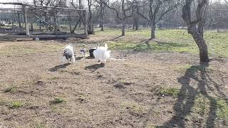 Индюки на прогулке. Turkeys. Funny animals video