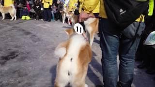 あいにいける秋田犬ののちゃんのアメッコ市。秋田犬パレード(2017年2月...