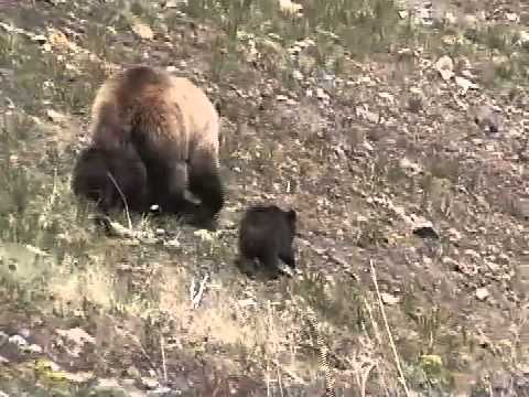 Mamma Grizzly with Cubs Encounter Yellowstone