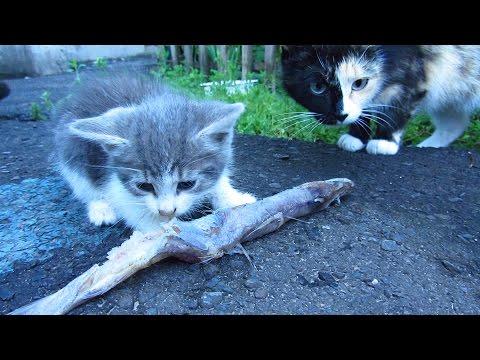 Hungry kitten - Kitten eating big fish