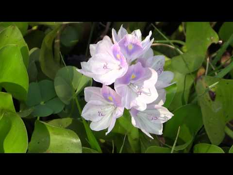 ЭЙХОРНИЯ ОТЛИЧНАЯ или КРАСИВЕЙШАЯ или ВОДЯНОЙ ГИАЦИНТ (Eichhornia crassipes. Cambodia)