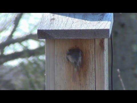 Black Capped Chickadee Nest Building