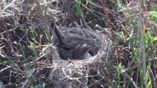 Sardinian Warbler (Sylvia melanocephala) nest - Cyprus
