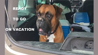 Funny Boxer Dog Can't Wait To Leave On Summer Vacation
