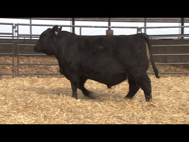 Schiefelbein Angus Farms Lot 15