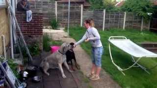 Gedges wolfhound tricks