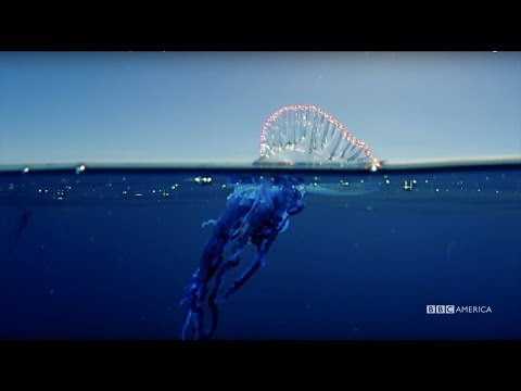 Planet Earth: Blue Planet II | Portuguese Man O' War | Coming To BBC America 2018