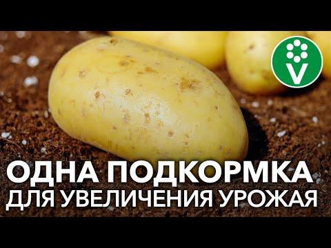 ПОДКОРМИТЕ КАРТОФЕЛЬ ТАК для крупного, здорового и хорошо хранящегося урожая!