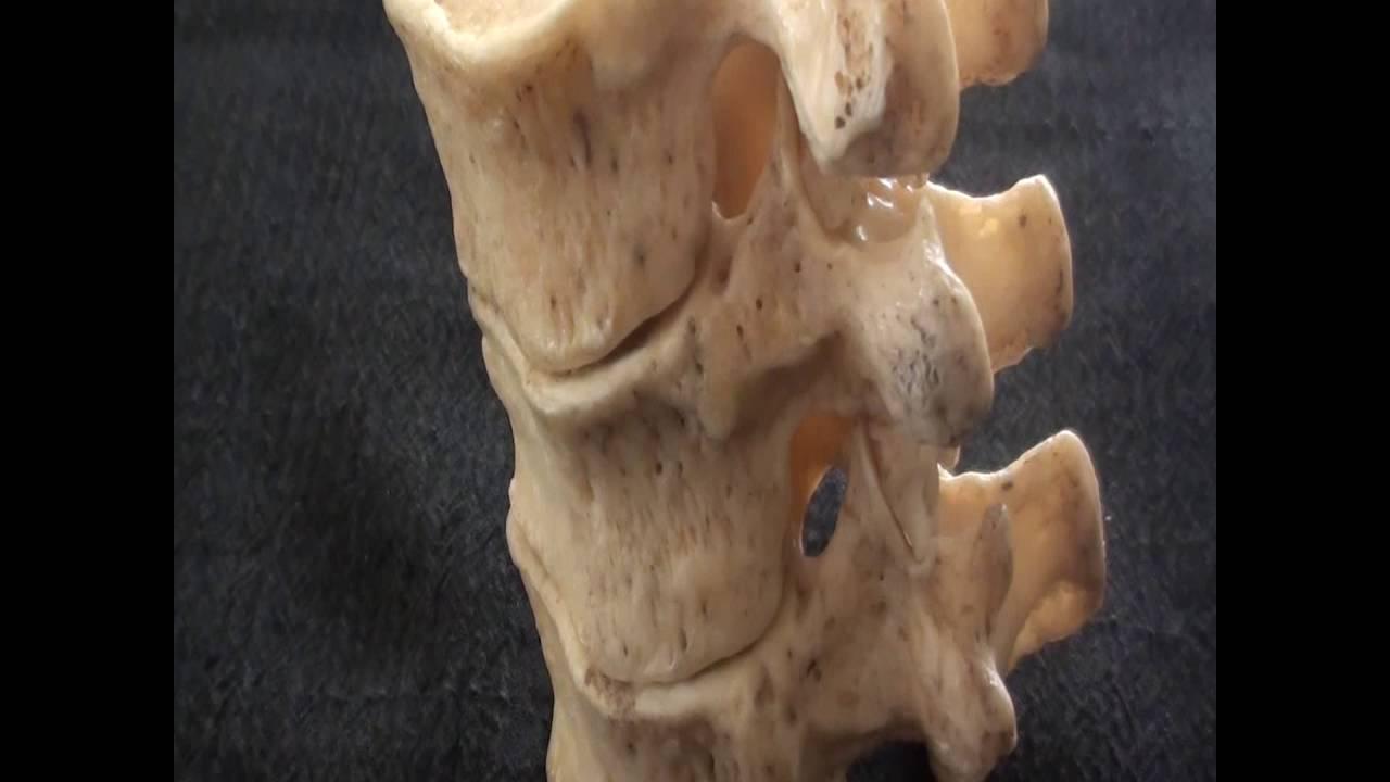 Human Anatomy Video: Atypical thoracic vertebrae HD - YouTube
