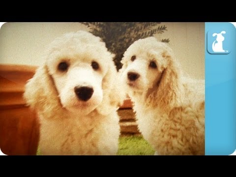 Poodle Puppies Puppy Love Youtube