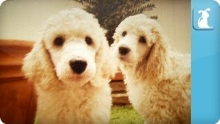 Poodle Puppies - Puppy Love