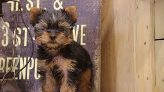 犬種 : ヨークシャテリア 毛色 : スチールブルー&タン 性別 : 男の...