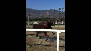 Horse faints after a long race